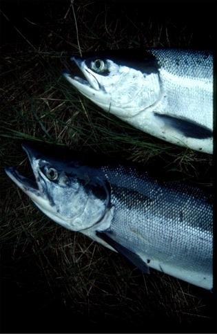 sockeye_salmon_pair